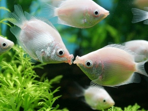 Kissing-Fish.jpg